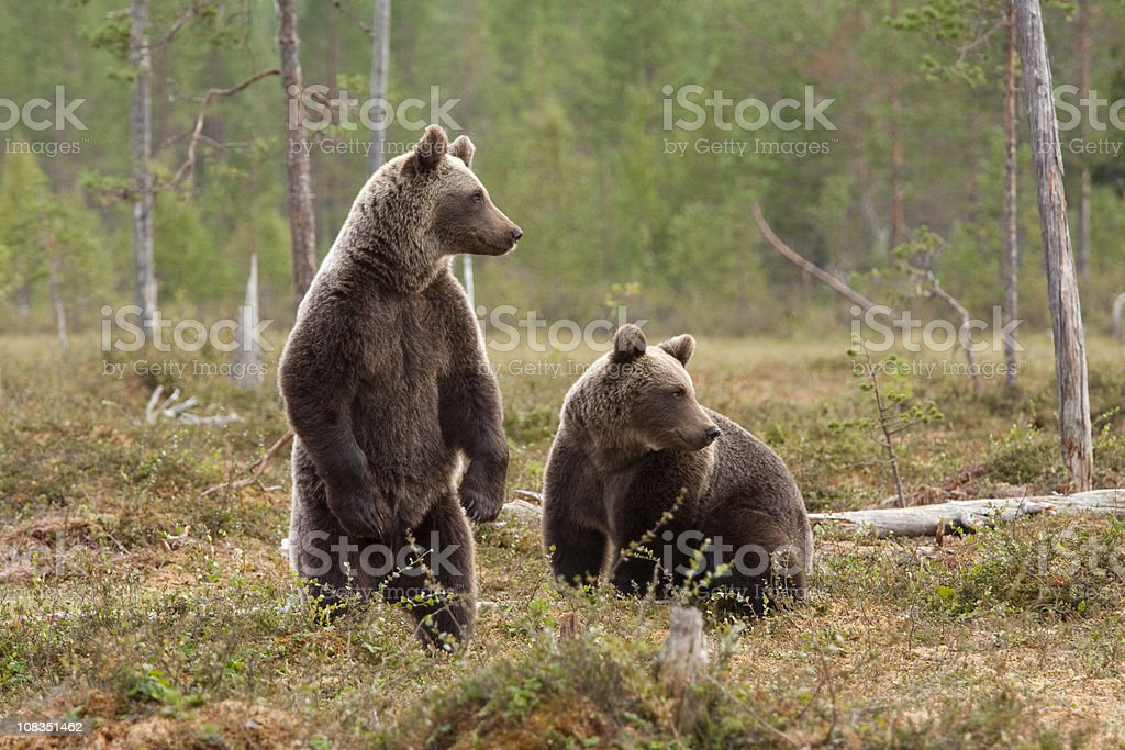 Two brown bears stock photo