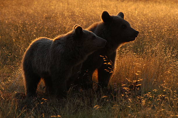 Two brown bears standing next to each other stock photo