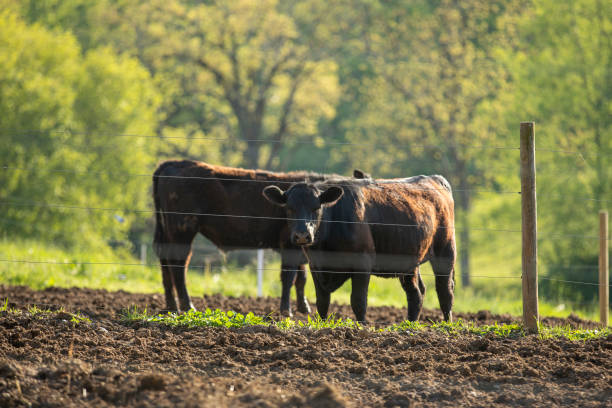 Two Brown Cows on a Farm Two dark brown cows on a farm. sdominick stock pictures, royalty-free photos & images