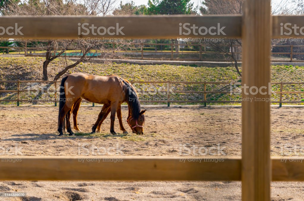 Two brown horses eating food on sand behind wooden fence. They look just one horse. Concept of coordination and harmony. stock photo