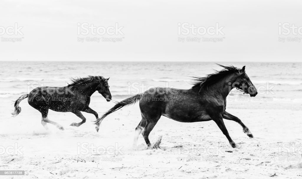 Two brown horses galopading on the seashore. stock photo
