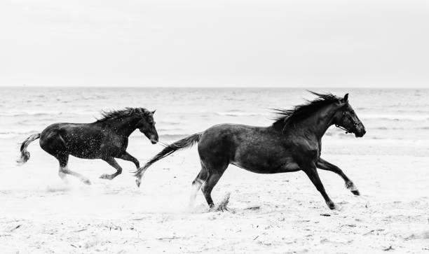 Galopading de deux chevaux brun sur le bord de la mer. - Photo