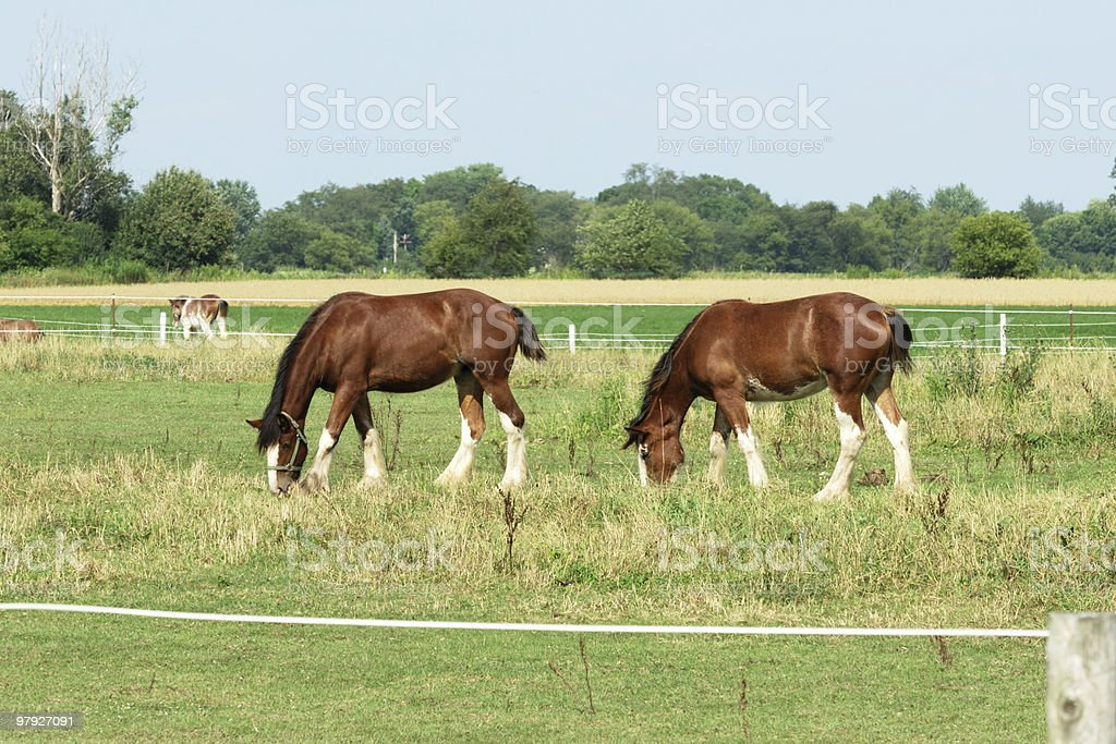 Two Brown Horses royalty-free stock photo