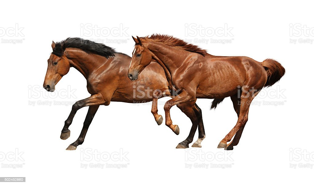 Two brown horses running fast isolated on white stock photo