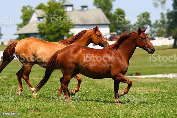 Two brown horses running through a pasture picture id172408219?b=1&k=6&m=172408219&s=612x612&h=johqlimlkcxtblxfe40etyv5qaa3bns2zcxg9uoebv4=