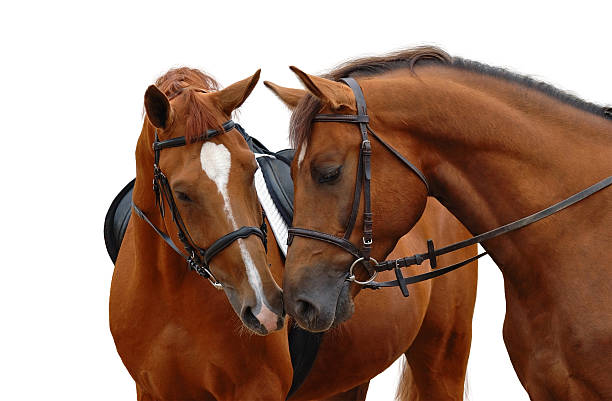 Two brown horses with their heads bent toward each other stock photo