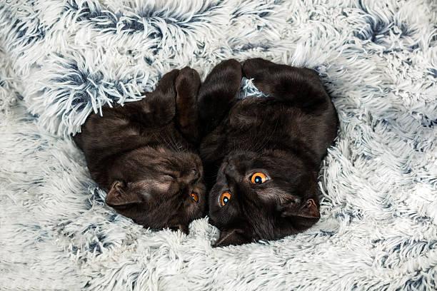 Two brown kitten lying together on fir blanket picture id585295528?b=1&k=6&m=585295528&s=612x612&w=0&h=yfohdyw3jhgpslgdd6usxrrm8ad2gmehxkt7rw  2ko=
