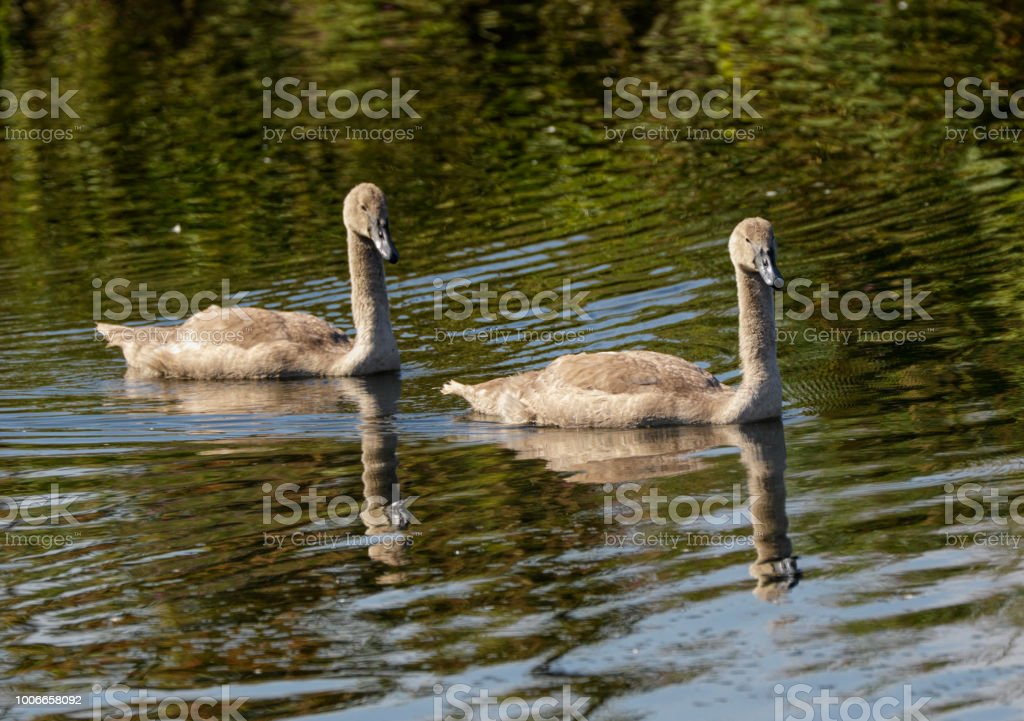 Two brown mute swan cygnets swimming on Mitcham Pond stock photo