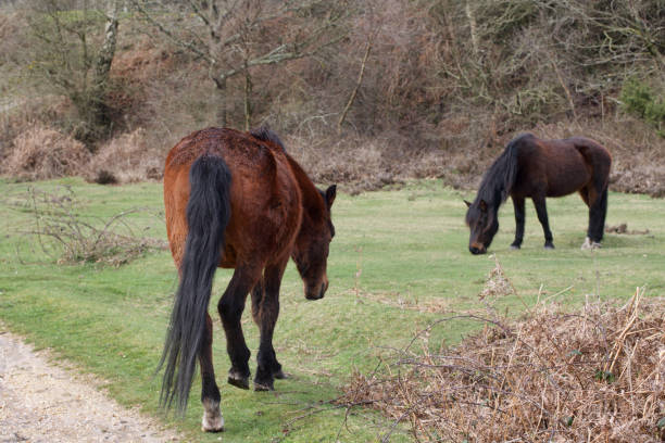 two brown new forest ponies on grassland - whiteway pony stock photos and pictures
