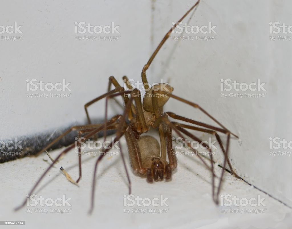Two Brown Recluse Spider stock photo