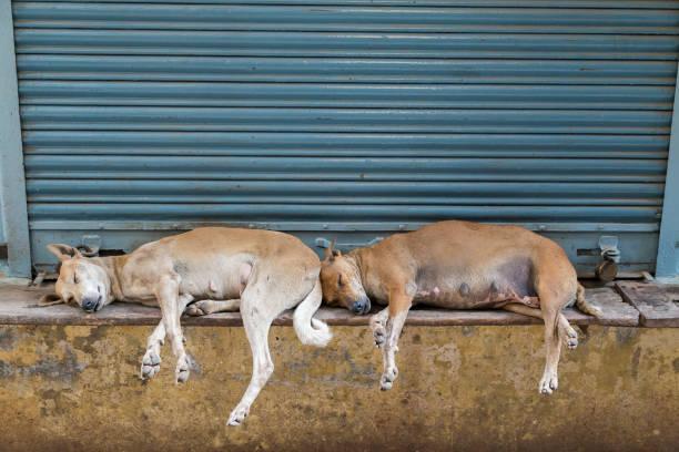Zwei braune streunende Hunde schlafen schließen einander neben einem blauen Verschluss – Foto