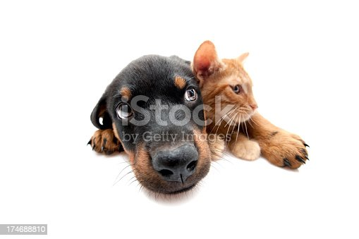 street cat and rottweiler