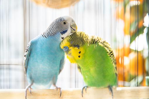 Two budgerigars preening