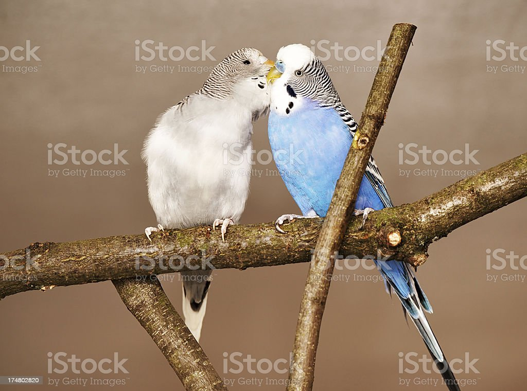Two budgies royalty-free stock photo