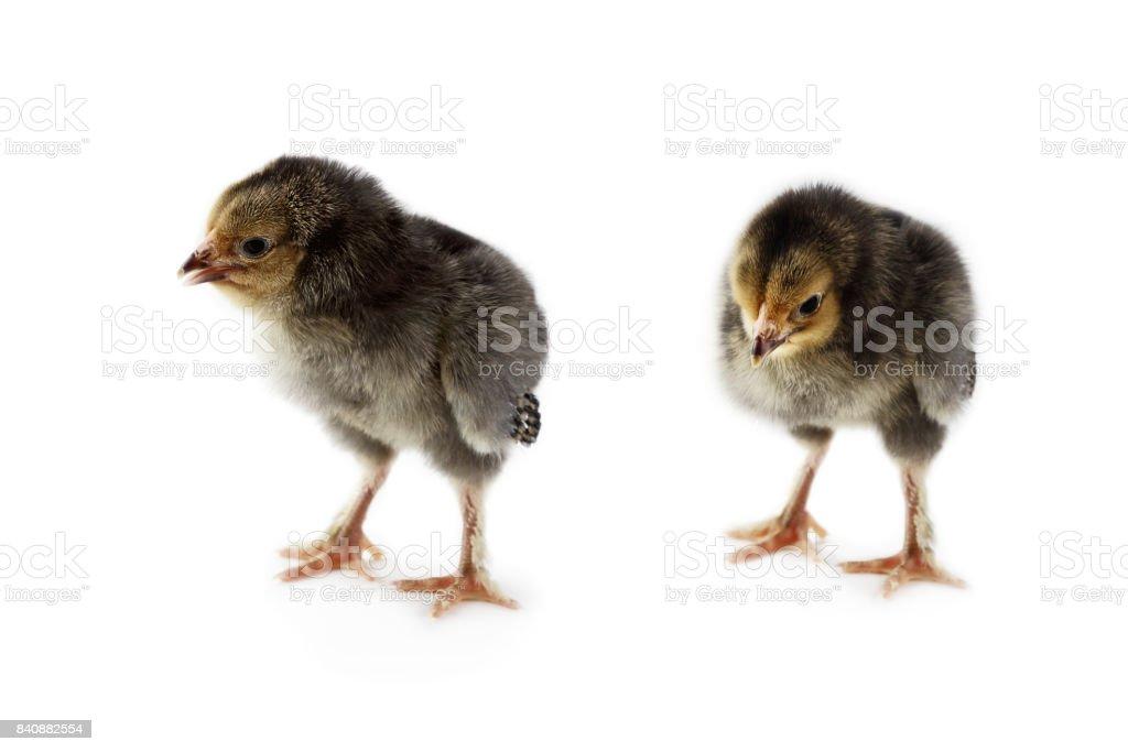 Two Buff Brahma Chicks stock photo