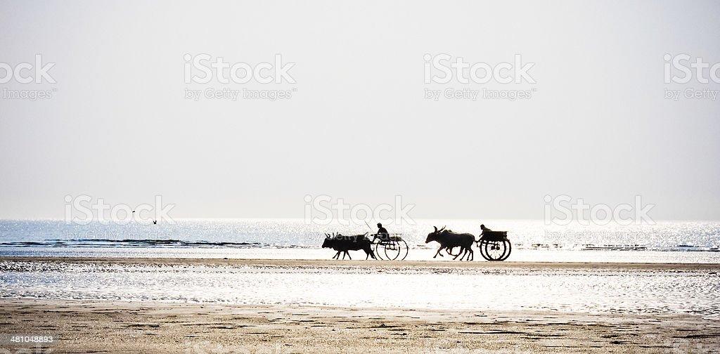 Two bull cart racing on the seashore stock photo