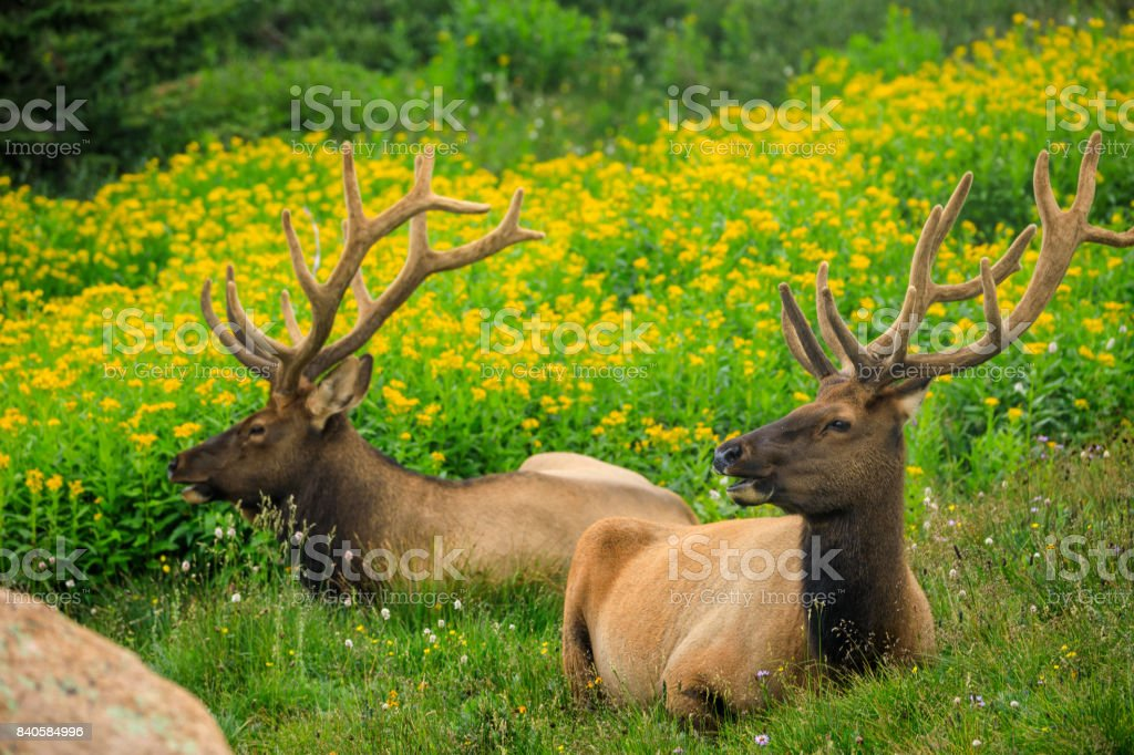 Two Bull Elk in a Field stock photo