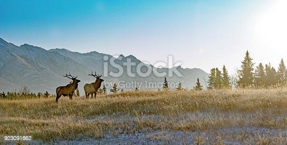 Bull elk in Banff National Park in Autumn.