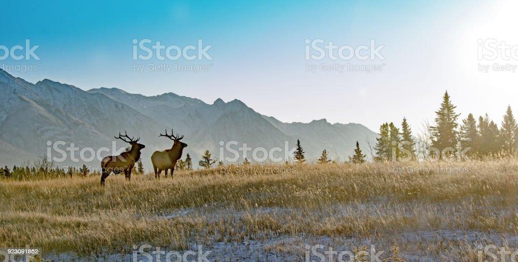 Two bull elk in Banff National Park stock photo