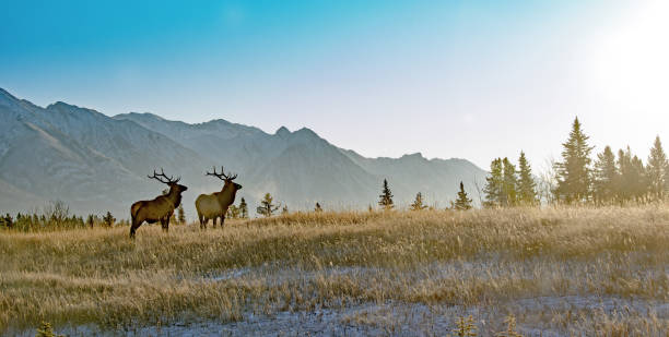 Two bull elk in Banff National Park stock photo