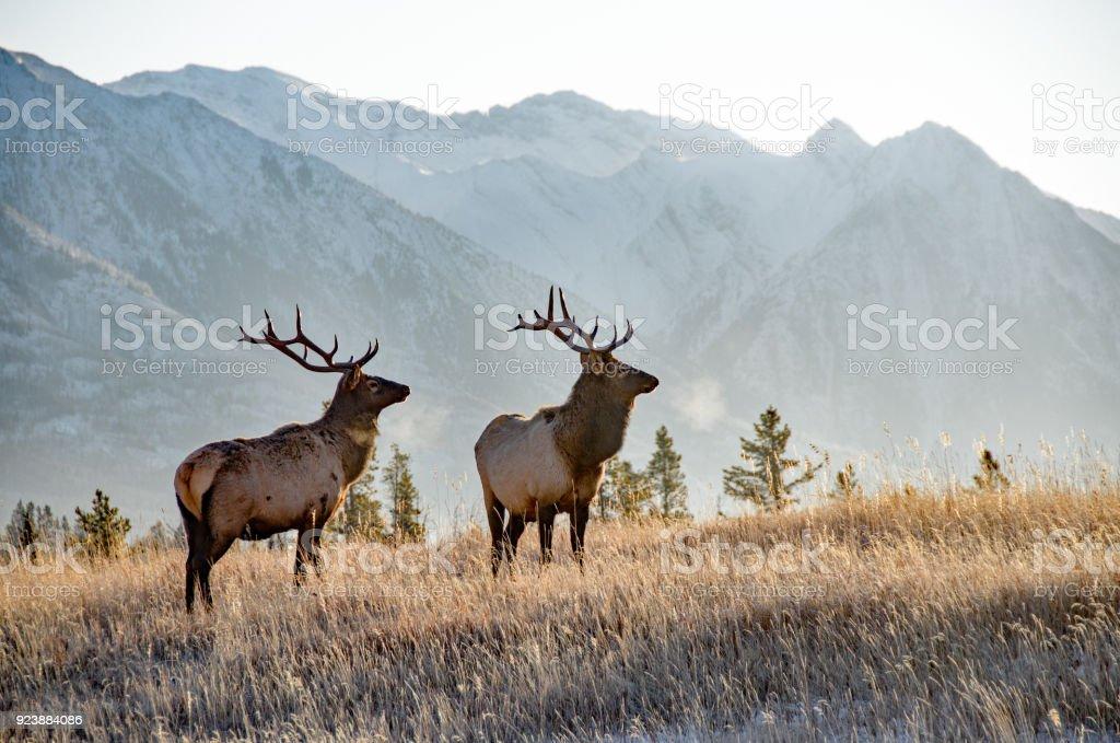 Two bull elk in Banff stock photo