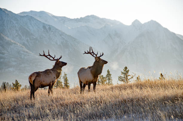 Two bull elk in Banff Two large bull elk in Banff National park. November rocky mountains north america stock pictures, royalty-free photos & images