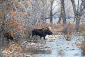 istock Two Bull Moose cross stream in late autumn 1250727002
