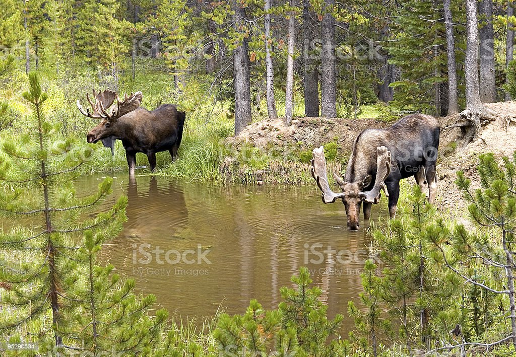 Two Bull Moose (Alces) Drinking From A Mountain Pond royalty-free stock photo