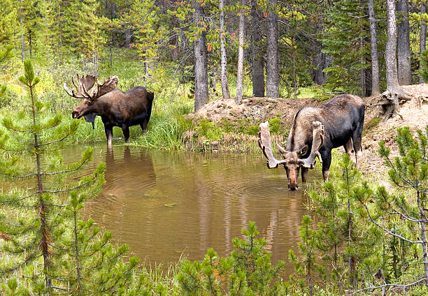 Two Bull Moose (Alces) Drinking From A Mountain Pond stock photo
