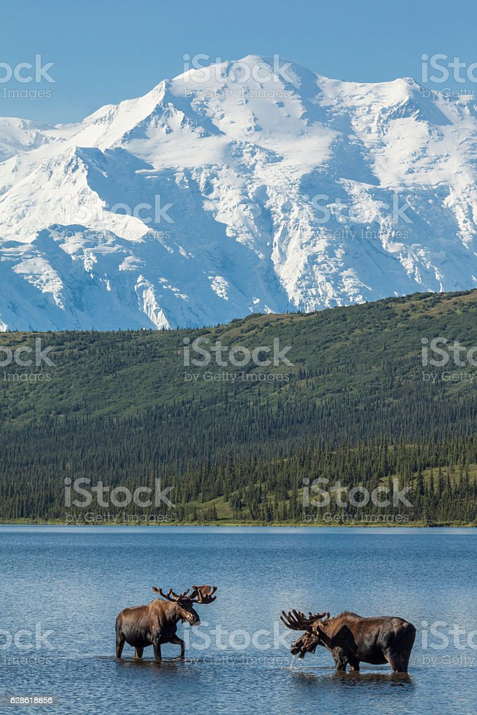 Two bull moose feeding in Wonder Lake stock photo
