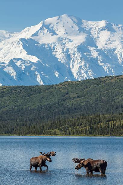 two bull moose feeding in wonder lake - denali national park bildbanksfoton och bilder