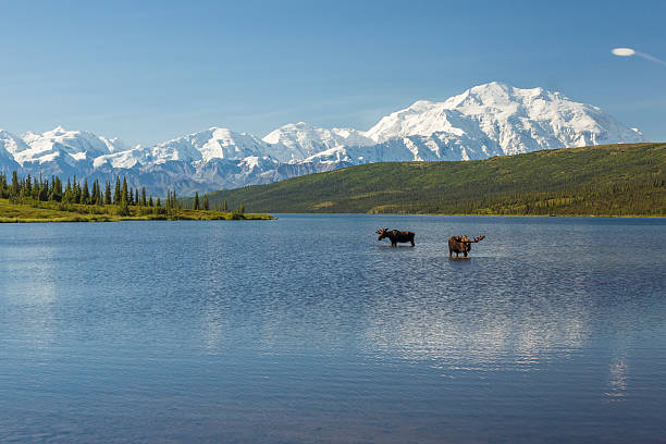 Two bull moose feeding in Wonder Lake stock photo