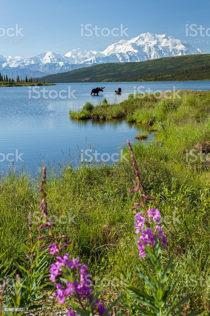 Two bull moose feeding in Wonder Lake with Fireweed flowers. stock photo