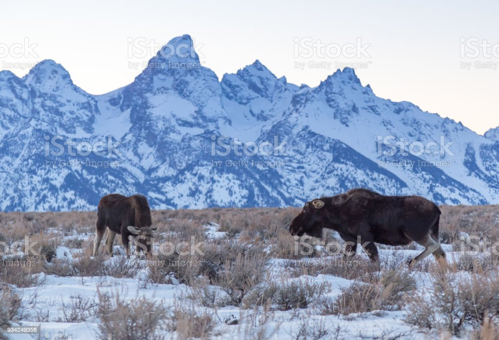 Two Bull Moose in front of the Tetons. stock photo
