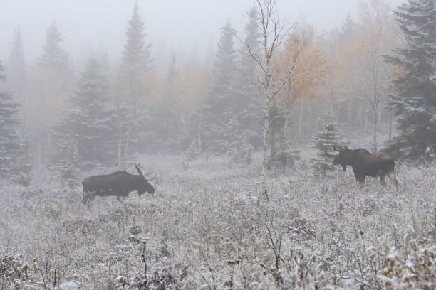 Two Bull mooses challenging on first snow, Alces alces. stock photo