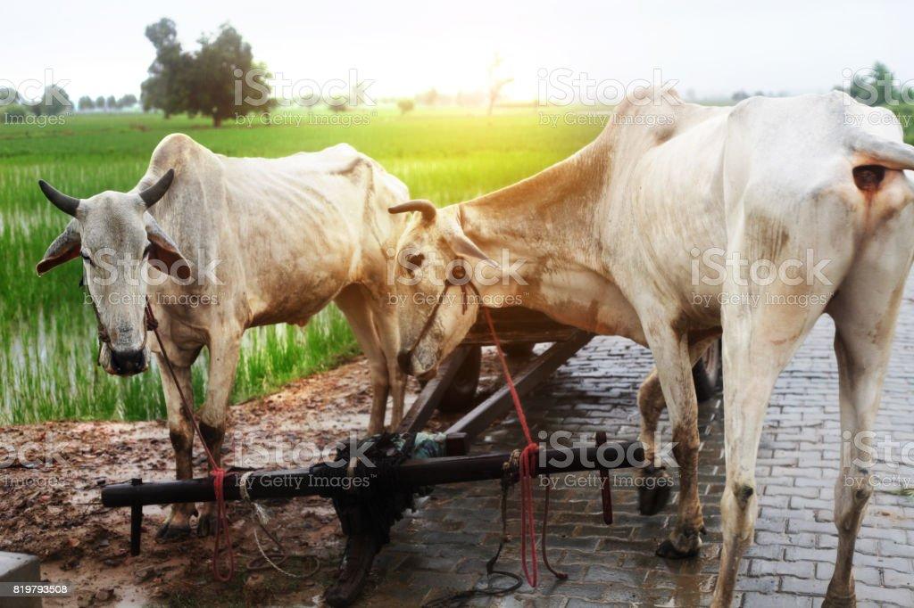 Two bullock standing near the green field stock photo