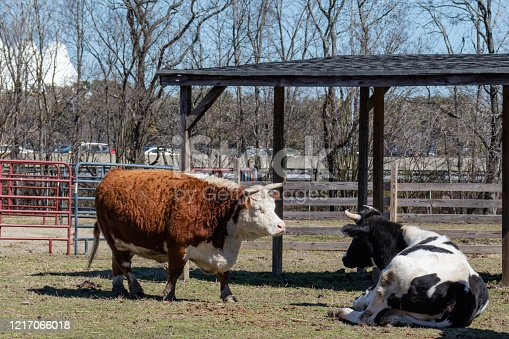 Two bulls in their own pasture, away from the other animals at the petting zoo.