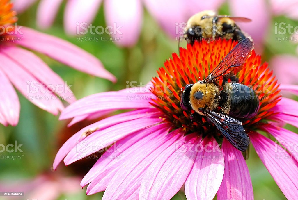 Two Bumble Bees Hard at Work stock photo
