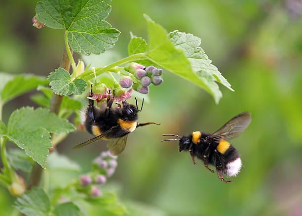 two bumblebee in the flower - bestuiving stockfoto's en -beelden