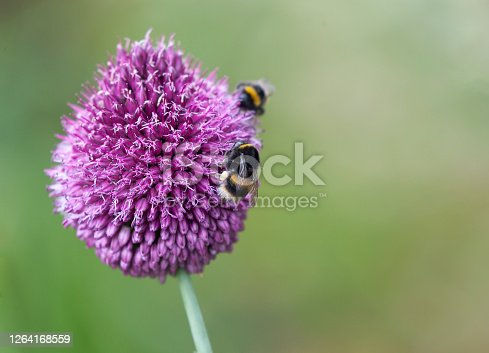 Two Bumblebees, at least one Buff-tailed, Bombus terrestris, with a  corbicula (pollen basket) showing, feeding in an Allium Sphaerocephalon (Drumstick Allium) against a defocussed background