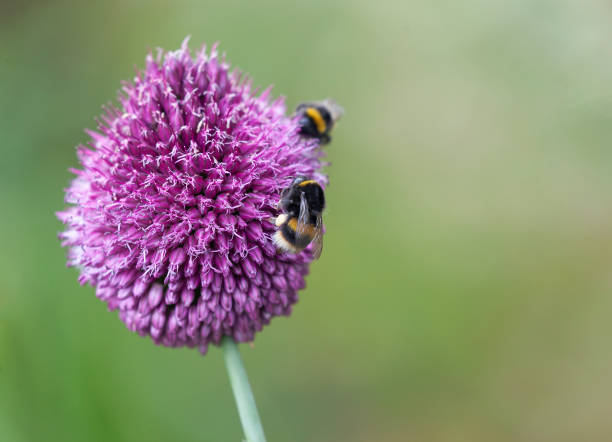 Two Bumblebees feeding in an Allium Sphaerocephalon (Drumstick Allium) against a defocussed background