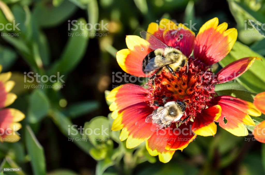 Two bumblebees on multicolored Indian Goblin Blanket Flowers stock photo