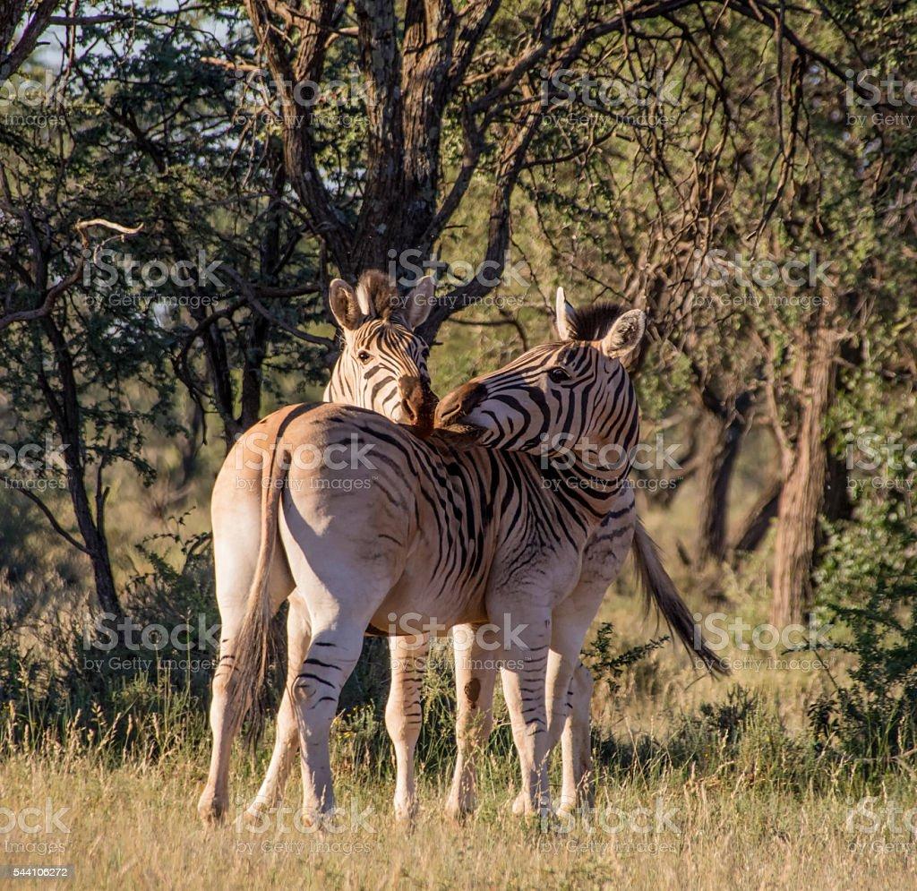 Two Burchell's Zebra stock photo