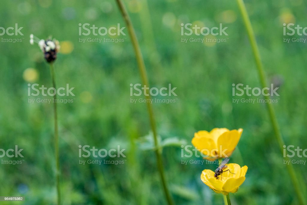 Two buttercups with a fly in a meadow stock photo