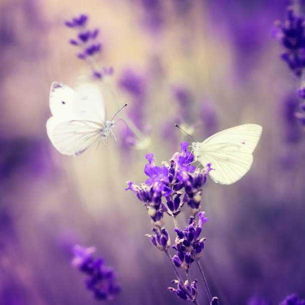 Two butterflies checking out a lavender picture id154015701?b=1&k=6&m=154015701&s=612x612&w=0&h=ljv8hbnzvfnb8jodotmbzfo9ictj1sujdikkmqketrk=