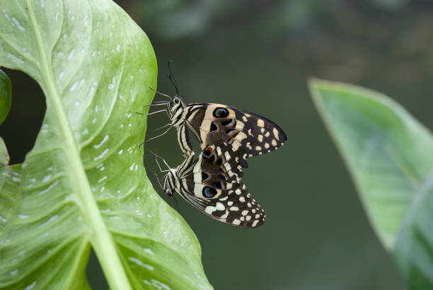 Two butterflies (Papilio demodocus) coupling over a leaf. stock photo