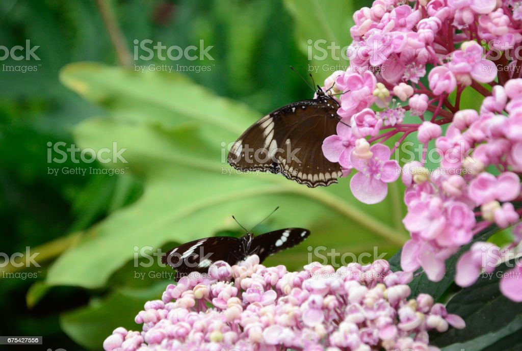 Two Butterflies on a flower royalty-free stock photo