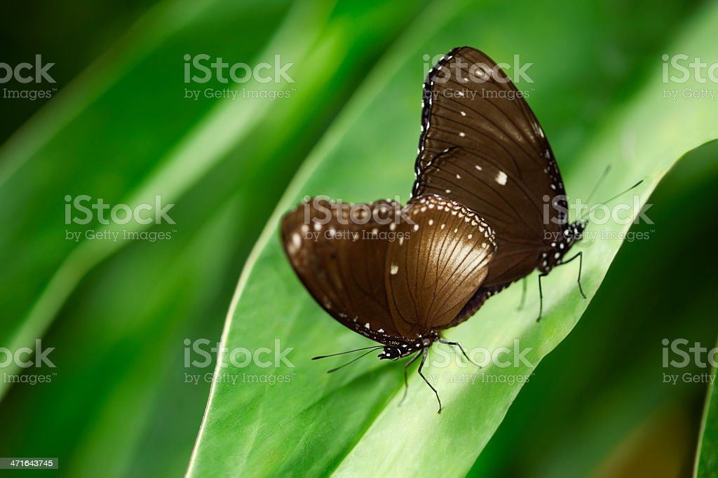 Two butterflies on foliage royalty-free stock photo