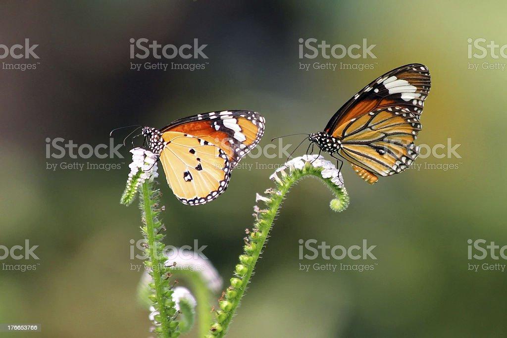 Dos mariposas foto de stock libre de derechos