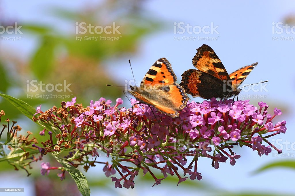 Two butterflys on lilac royalty-free stock photo